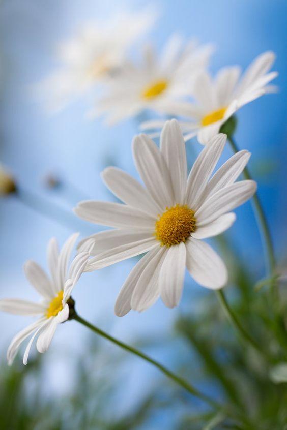 Stokrotka / źródło: blooming-inspiration.tumblr.com