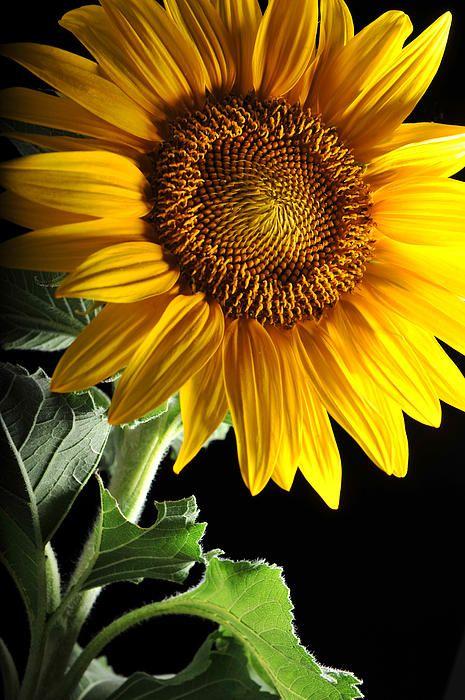 Słonecznik / źródło: fineartamerica.com