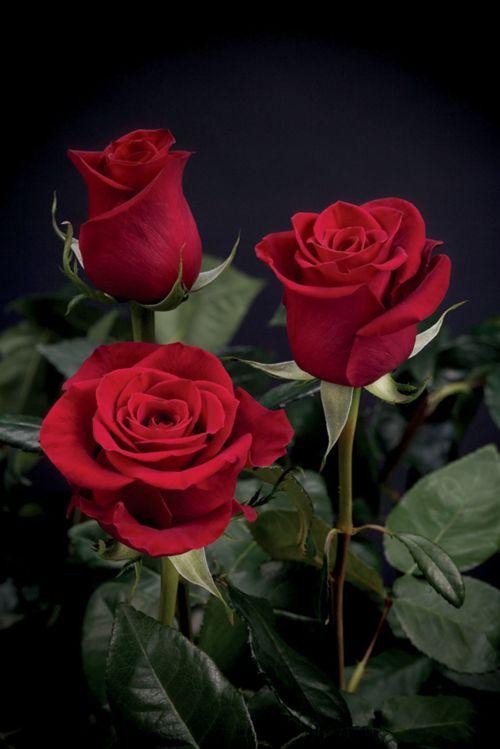 Bukiet z 3 czerwonych róż/ źródło: http://weheartit.com/