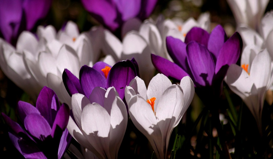 Kwiaty na ślub w marcu, źródło: pixabay.com